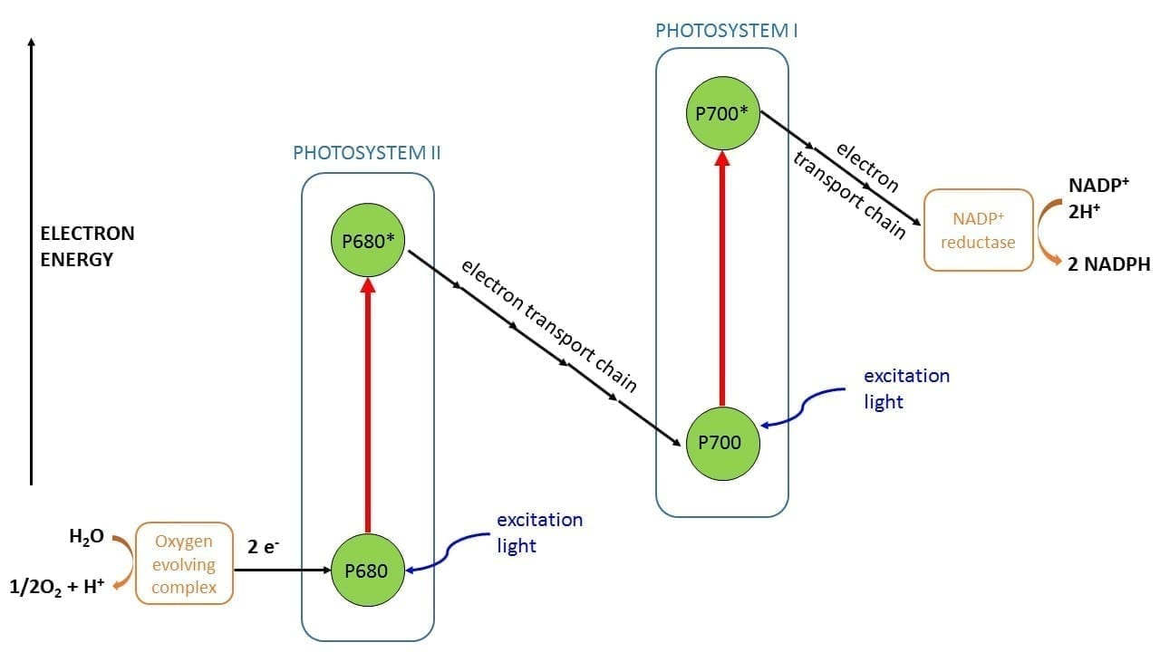 photosynthesis z scheme diagram e36 speaker wiring temperature dependent quantum yield of chlorophyll fluorescence simplified schematic the process p680 and p700 are centres in photosystems i ii respectively