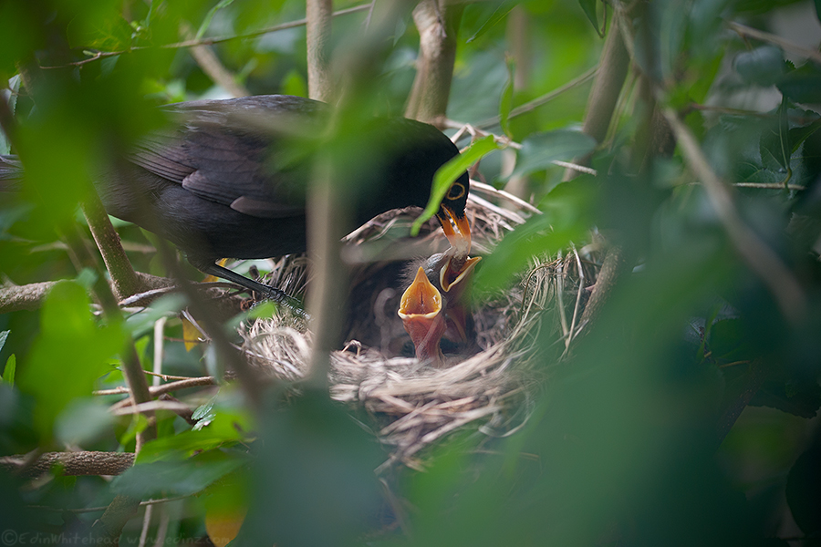 Blackbirds_TW7_4474-EditWEB