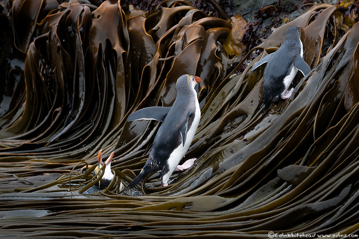 Macquarie_Royals_Kelp_TW7_0320-Edit6x4WEB