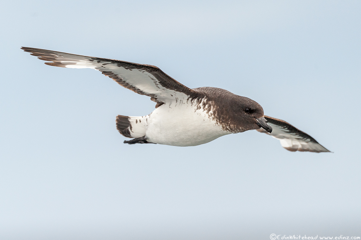 CapePetrel_TW7_4204-Edit6x4WEB