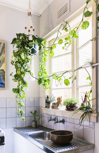 αναρριχώμενο φυτά κρεμασμένο κουζίνα