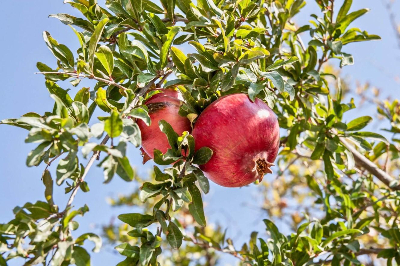 ροδιά δέντρο