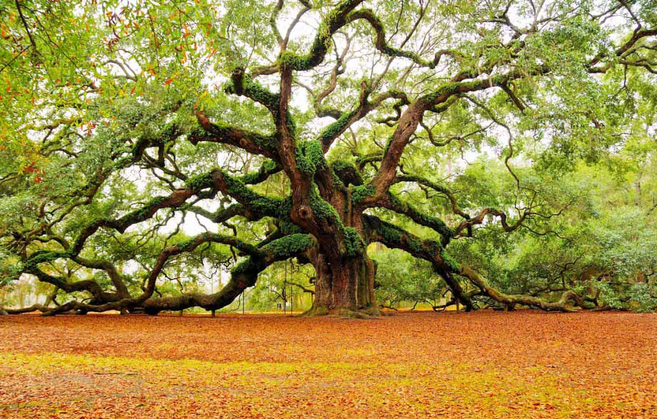 The Magnificent Angel Oak Tree