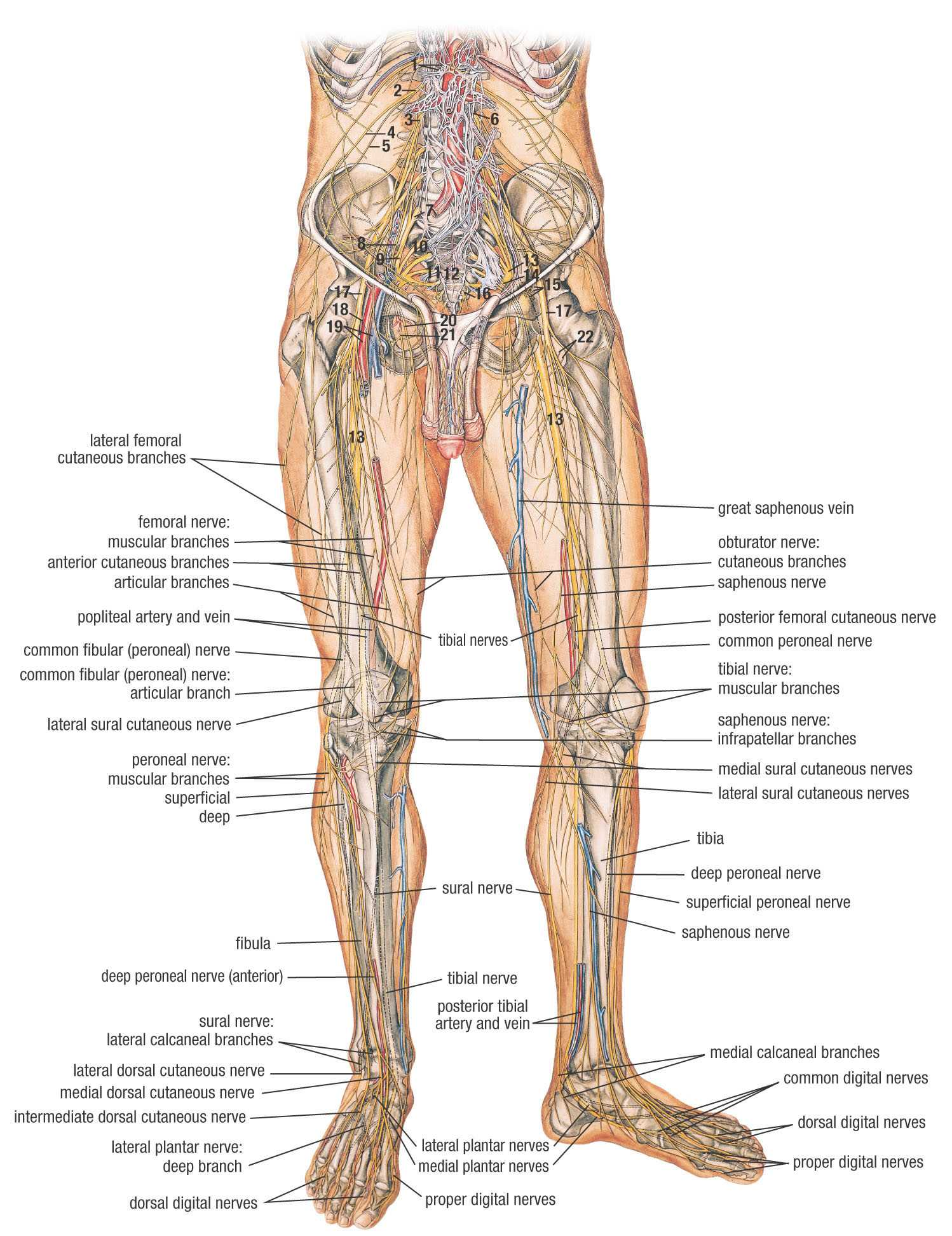 human leg anatomy diagram site to vpn network top photos in nerves of the lower limb