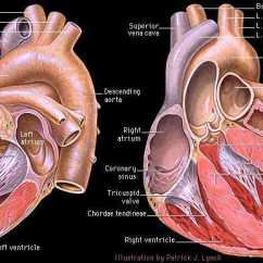 Anatomical Heart Diagram Posterior Compare And Contrast Template Gross Anatomy Of The
