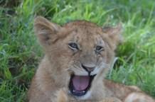 Lion Cub Yawning