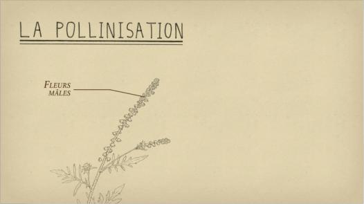 Ambroisie — La pollinisation
