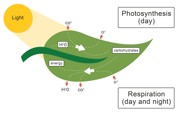 Role Of Leaf In Worksheet - Edplace