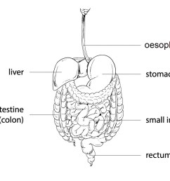 each organ has a specific job to do in this process the diagram below shows the different organs involved in the digestive system  [ 1047 x 797 Pixel ]