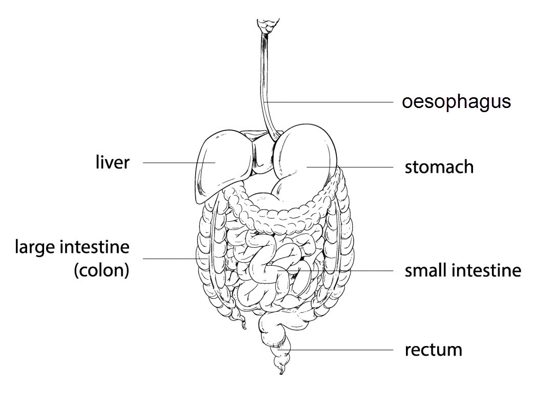hight resolution of each organ has a specific job to do in this process the diagram below shows the different organs involved in the digestive system
