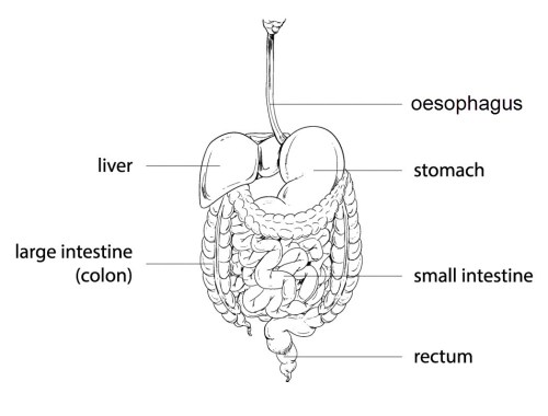 small resolution of The Digestive System Worksheet - EdPlace