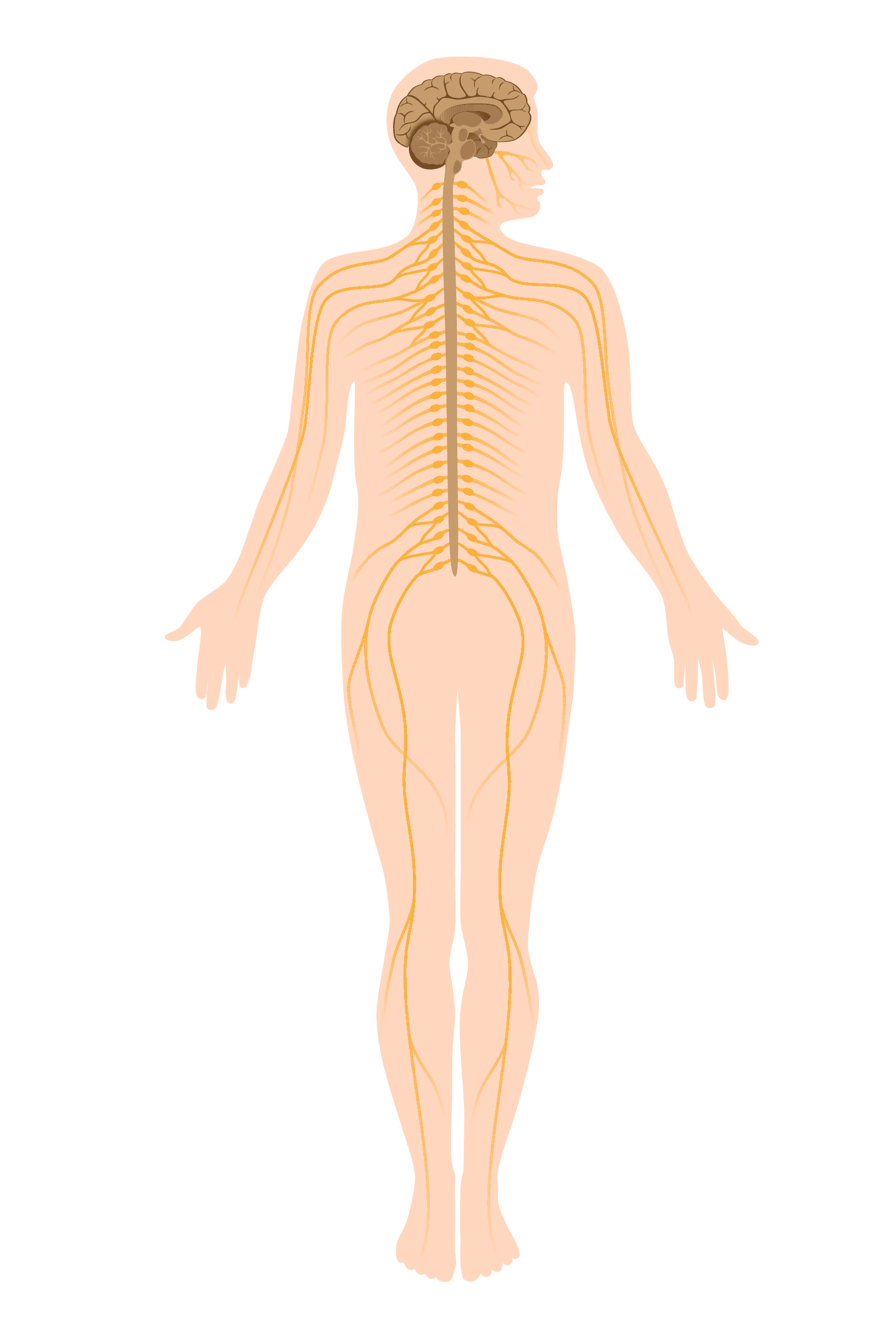 hight resolution of the central and peripheral nervous system