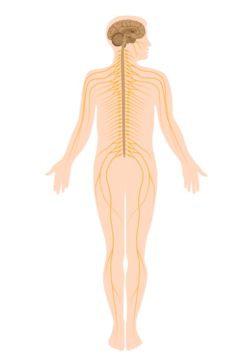small resolution of the central and peripheral nervous system