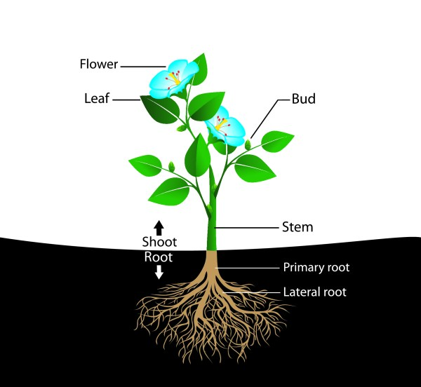 Plant Parts Flower Diagram
