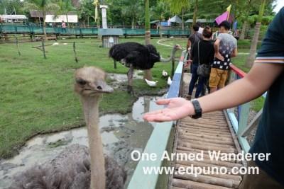 Ostrich feeding