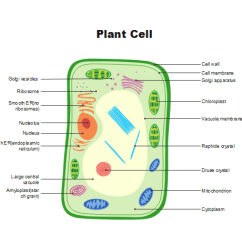 Plant Cell Diagram With Labels Yamaha Banshee Wiring 9s Imixeasy De