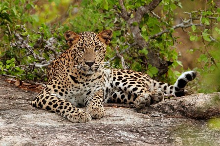 Leopard in India continue to report first calculation