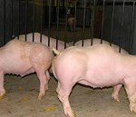 Mizoram govt bans import of pigs and piglets