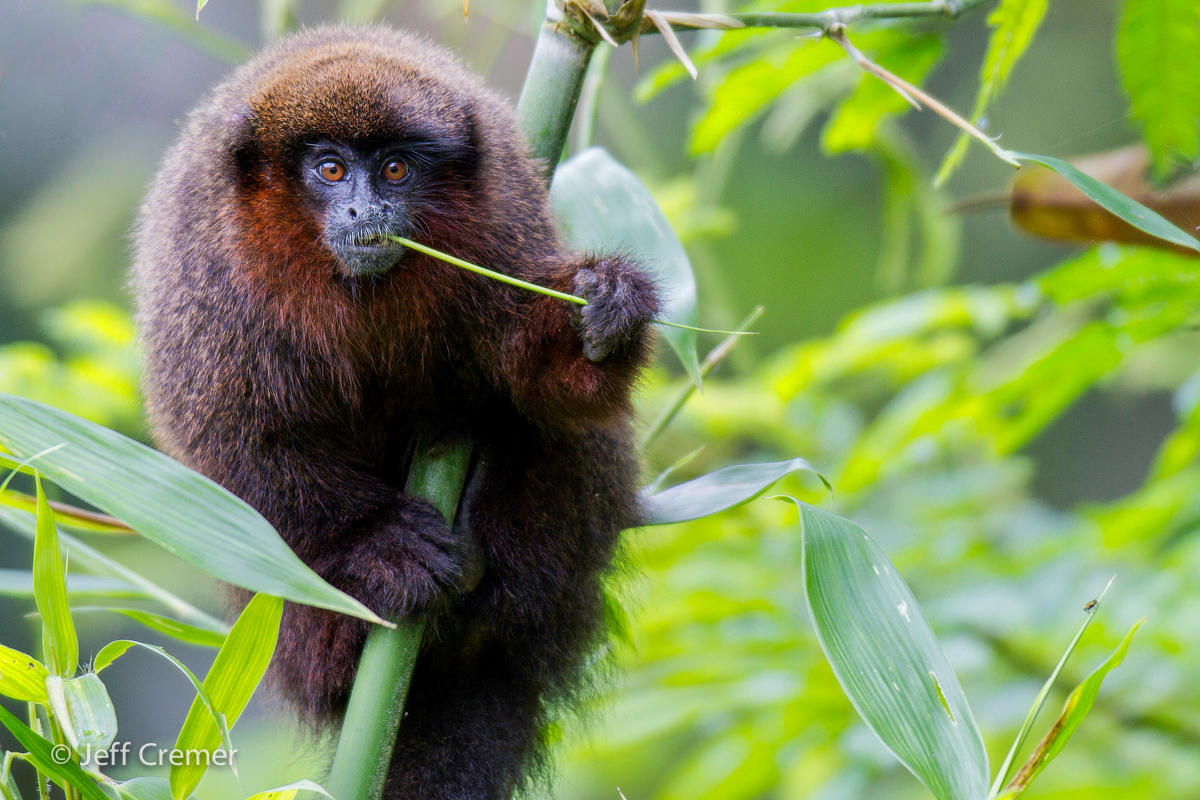 Titi monkeys eat over a hundred different species of fruit and plants in  the rainforest. (Image: Jeff Cremer)