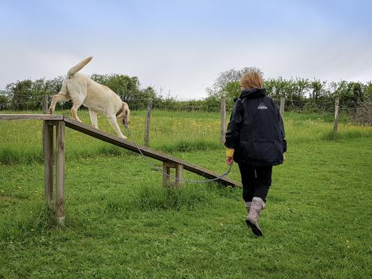 Labrador en éducation canine