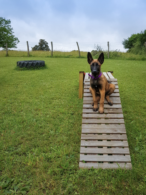 Chiot malinois éducation