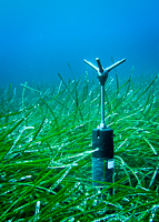 ADV in a seagrass Posidonia meadow