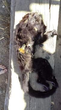 Macaco é encontrado morto em comunidade de Ituporanga