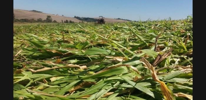 Agricultor usa milho para preservar água no solo