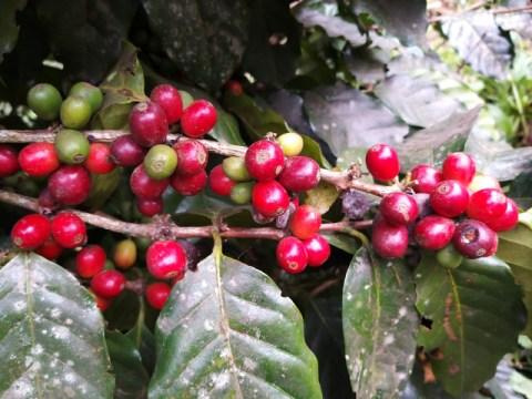 Cultivado em sistemas agroflorestais, o café catarinense tem apelo ambiental e econômico (Foto: Reprodução)