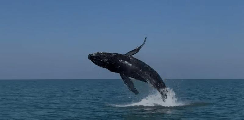 Fim de semana no Litoral Norte Catarinense foi marcado por show de baleias-jubarte