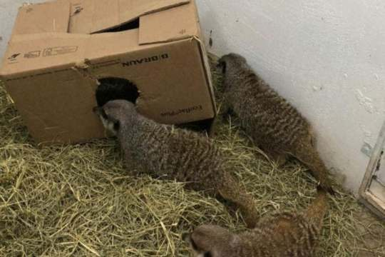 Três suricatos sobre feno em volta de caixa no Complexo Ambiental (Foto: Cyro Gevaerd Marcia Achutti / Divulgação)
