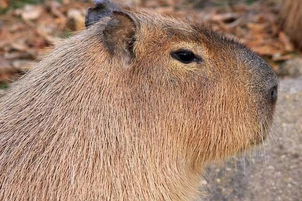 capibara o carpincho