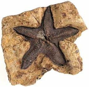 fossil star fish