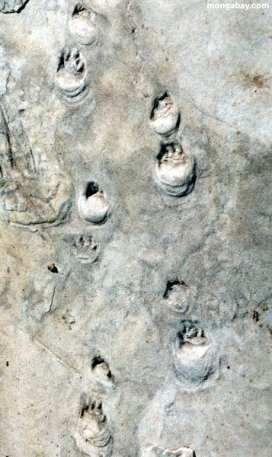 Coconino Footprints2