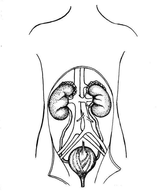 Dibujo para colorear Aparato urinario, riñones y vejiga