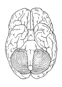 Dibujo Del Cerebro Para Colorear Dibujos Del Cuerpo Humano