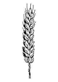 Dibujos de trigo para colorear