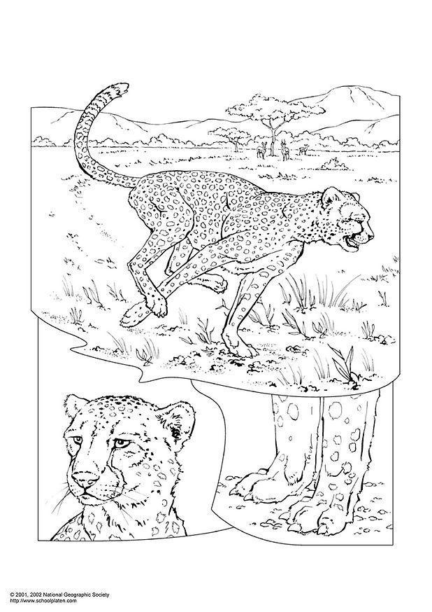 guépard pour dessiner