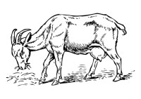Disegno da colorare capra - Cat. 17358.