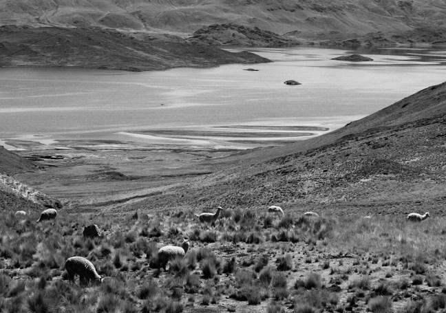 Llamas del lago Lago Titicaca, Puno, Perú
