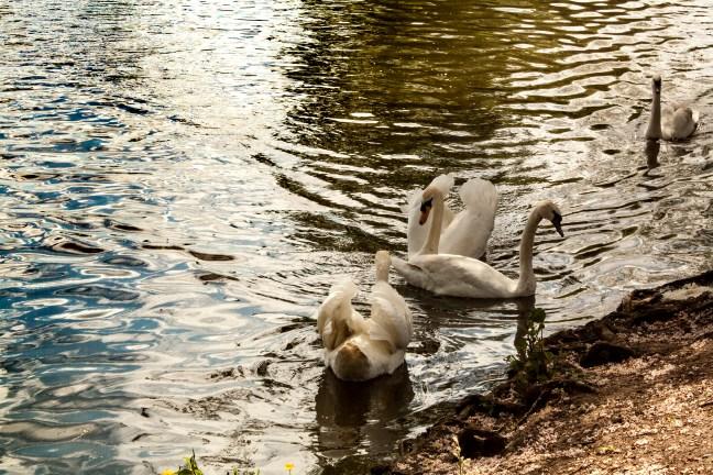 Cisnes en el río Stratford-upon-Avon, UK