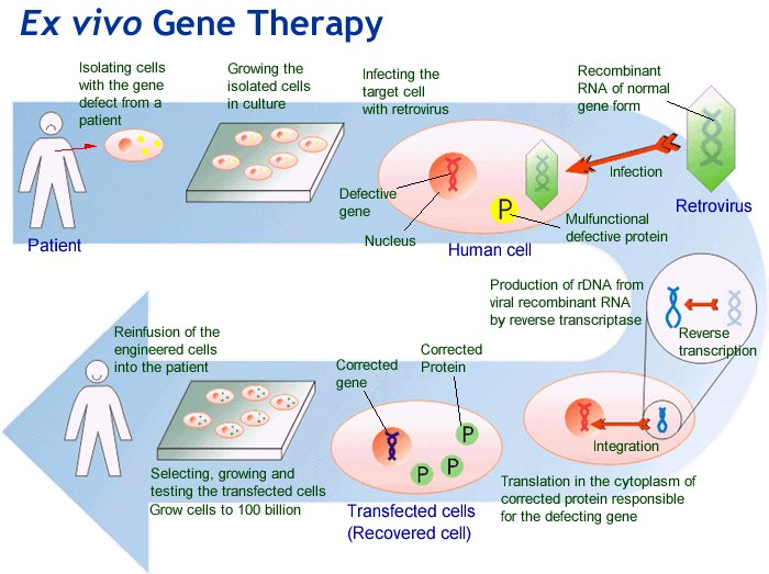 in vivo gene therapy diagram of lungs and diaphragm biotechnology health medicine