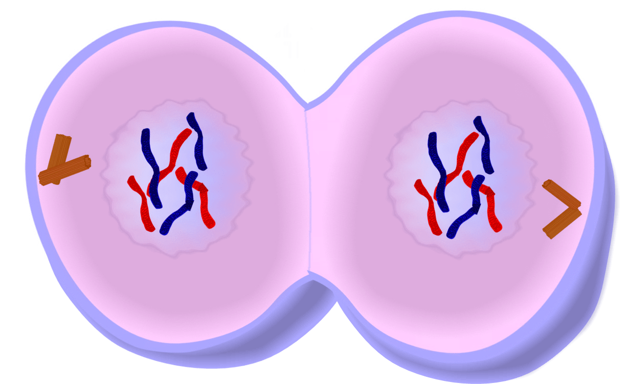 Image result for telophase