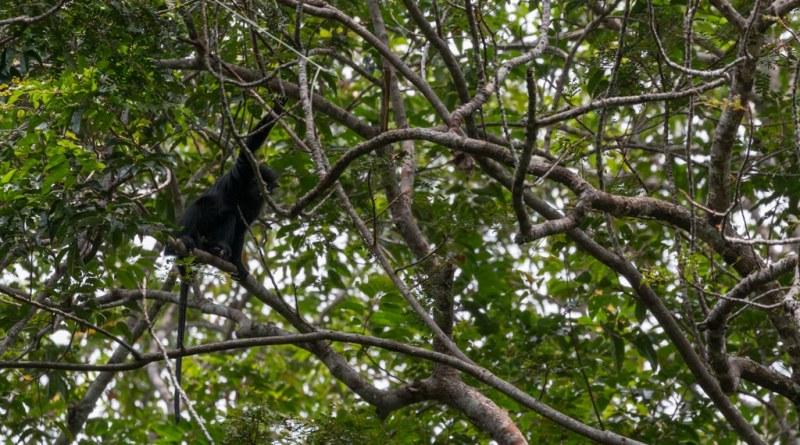 aapjes maar geen gorilla in Lopé Nationaal Park in Gabon - www.edvervanzijnbed.nl