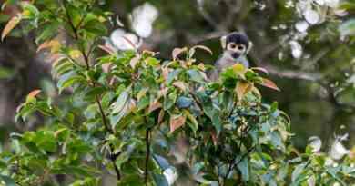 Doodshoofdaapje in het Mamirauá reservaat in de Amazone. Bij het Uacari Ecolodge waar ook Uacari apen leven.