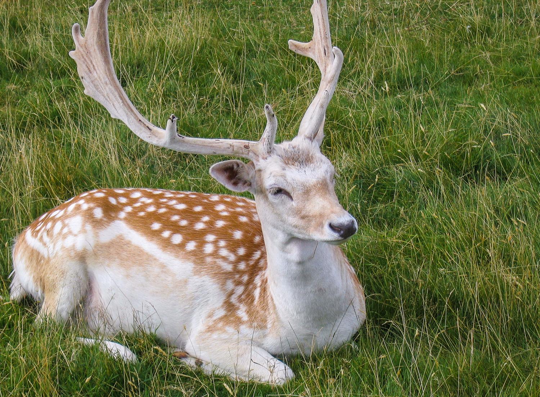 Wild Fallow Deer in Dunham Park