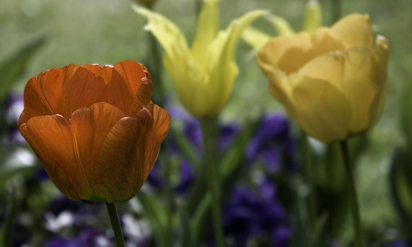 Red Tulip Flower