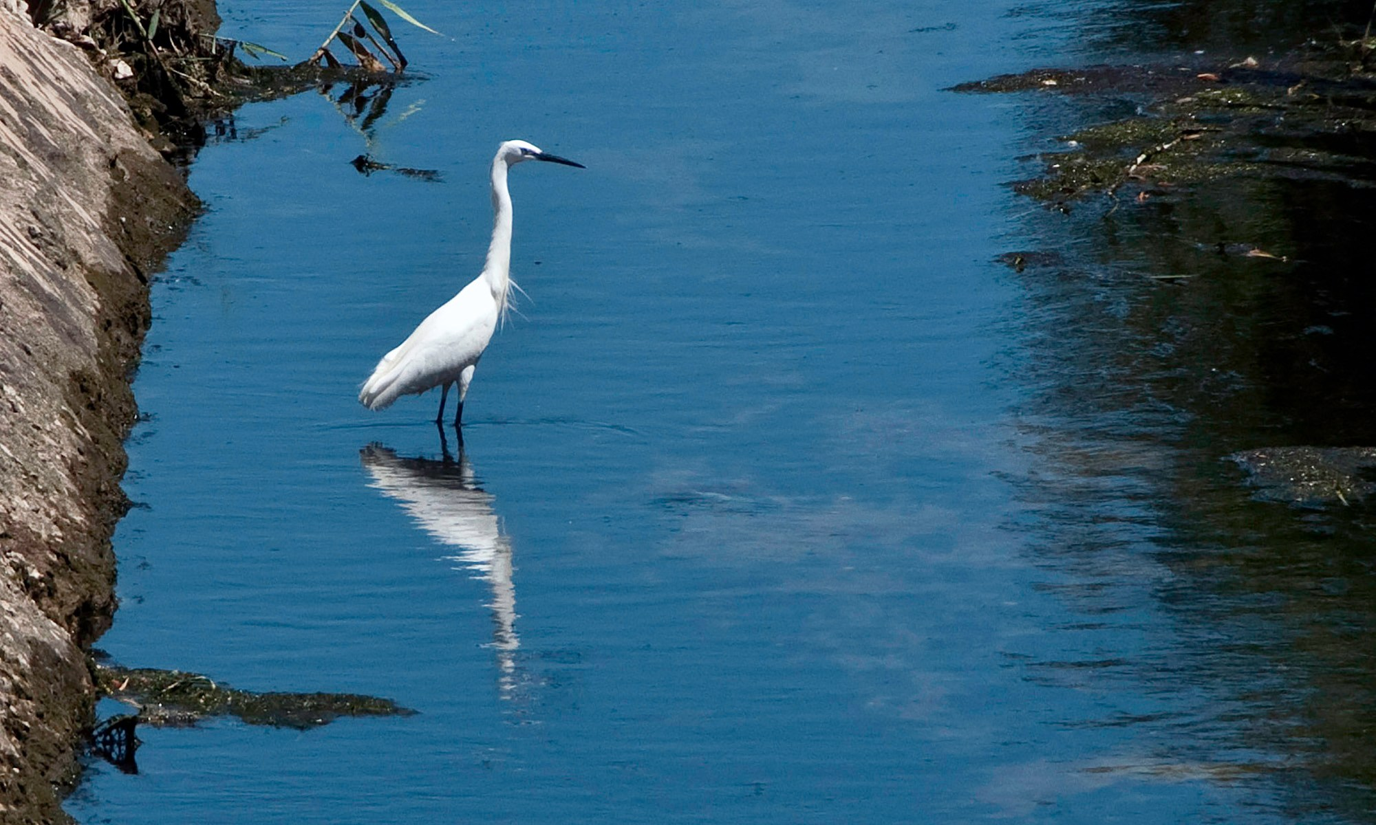 White Heron and Reflection