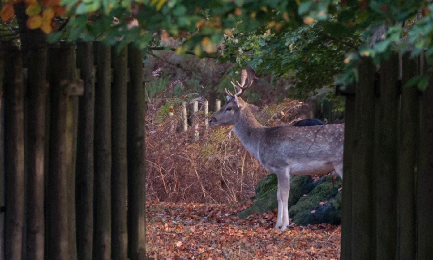 Deer hiding between the trees