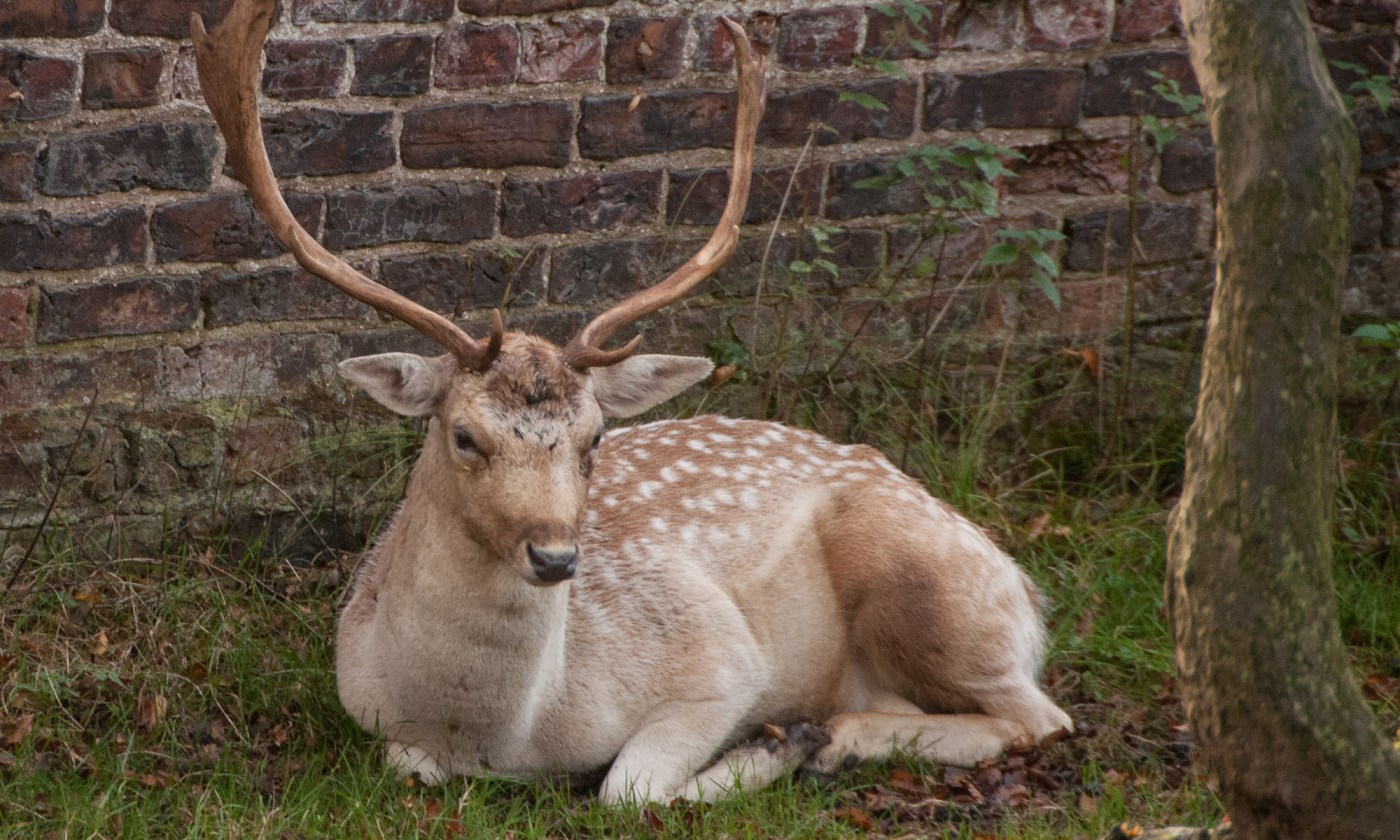 Deer sat near a wall